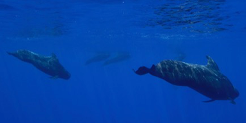 Synopsis: Identifying Whale Dialects