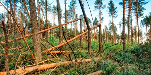 Synopsis: Trees Crumbling in the Wind