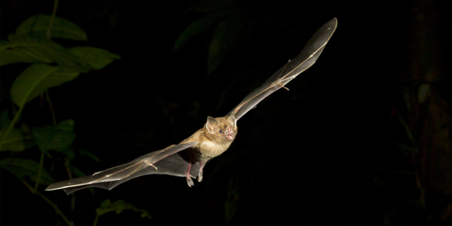 Synopsis: Jiggles that Help Bat Biosonar